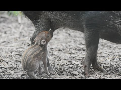Cute! Rare Baby Piglet Born At Chester Zoo video