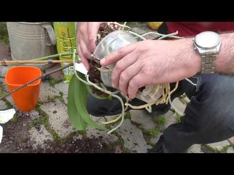 Orchidea átültetése