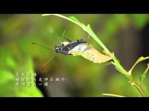 烏鴉鳳蝶-羽化.mov