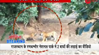 Video of fight between a Tiger and a Tigress at Ranthambore National Park goes viral