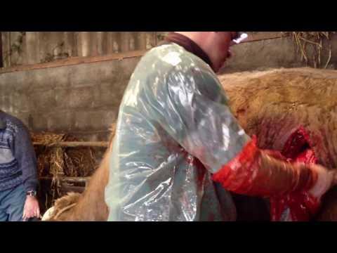 césarienne d une vache suite a un vêlage qui ce passe mal