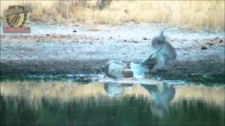 Batalla antilope vs cocodrilo | Antelope vs Crocodile | Batalla Animal 2015