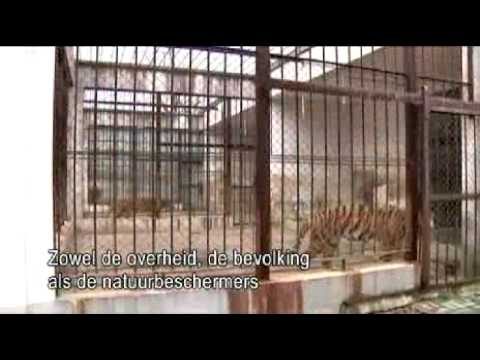 Chinese tiger in danger