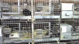 Chinchilla Ranch With 1000's of Chinchillas