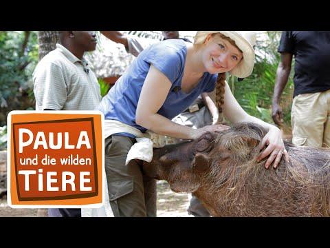 Piggy, das Warzenschwein (Doku) | Reportage für Kinder | Paula und die wilden Tiere
