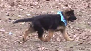 GSD puppies 2 18 18