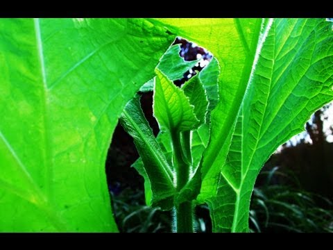 Growing Yacon (Earth Apple) from a Rhizome.