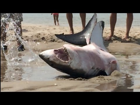 GREAT WHITE SHARK BEACHES IN CAPE COD Amazing...