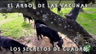 Vacunar a los novillos desde el árbol de Cuadri | Toros desde Andalucía