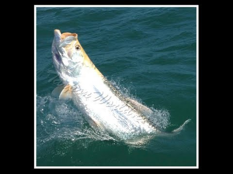 Tarpon World Fishing - Rare Albino/Piebald Tarpon hooked in Boca Grande Pass