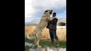 Алабай пёс Верный.