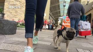 "6 Month Old Pug ""Jack"" 