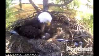 Bobblehead being a bobblehead - Southwest Florida Eagle Cam
