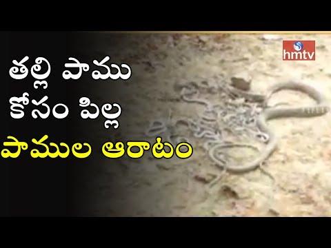 తల్లి పాము కోసం పిల్ల పాముల ఆరాటం | Chittoor Dist | HMTV thumbnail