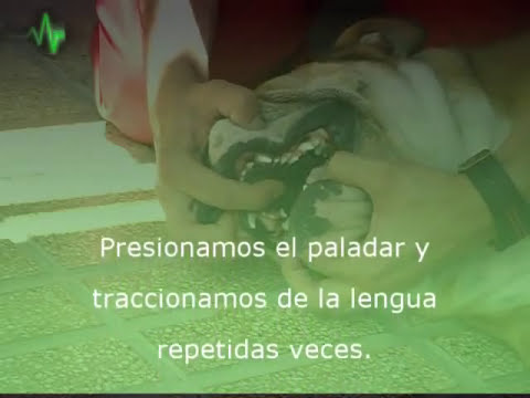 Reanimacion cardiopulmonar en un Bulldog (www.higiabull.es)