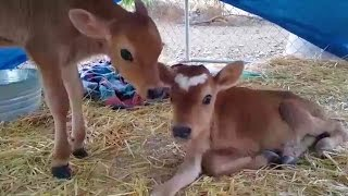 Calf Rescued From Medical Lab Grows Up Happy