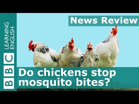 BBC News Review: Do chickens stop mosquito bites?