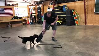 "Bi-Black Coated GSD Puppy ""Annie"" 10 Wks Early Protection Training Evaluation Dog For Sale"