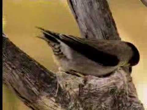 How Birds Camouflage Their Nests - David Attenborough  - Bbc Wildlife video