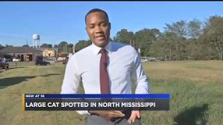 Panther Spotted Next To a Wendy's in North Mississippi?