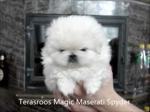 Pekingese puppies 1 month and 22 days old