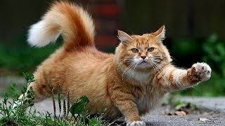 Funny cat video heavy metal cat