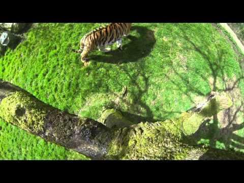 Vlad the Tiger - tree perspective Dartmoor Zoo