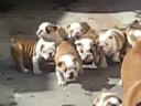 Bulldog puppies chasing mom