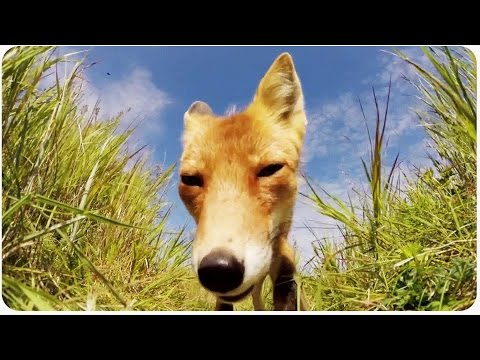 Fox Steals GoPro | Pesky Animal Thief