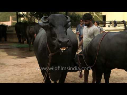 Ganga and her calf: million dollar buffalo family