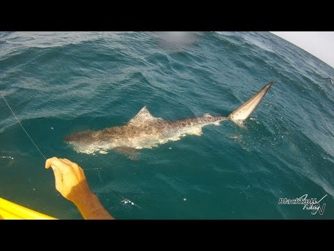 Tiger Shark Caught while Kayak Fishing