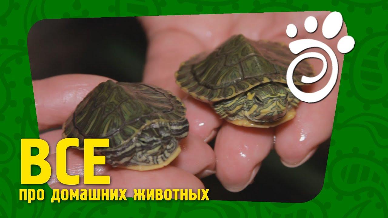 Красноухая черепаха как ухаживать в домашних условиях за маленькими