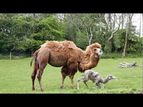 Manor House - Birth of a Baby Camel: MHWP, Tenby, Pembrokeshire, Wales: May 23rd, 2012