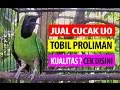 BRANDY WATCH : Jual Cucak Ijo TOBIL PROLIMAN Gacor Buka Paruh Bikin Juri Melongo