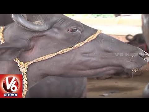 Telangana State Govt All Set For Distribution Of Buffaloes | V6 News