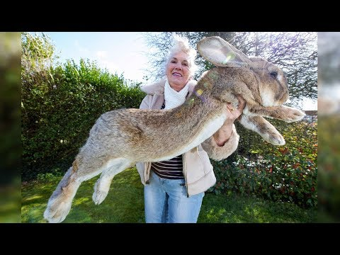 Das ist der fetteste Hase der Welt! Heftige Bilder!