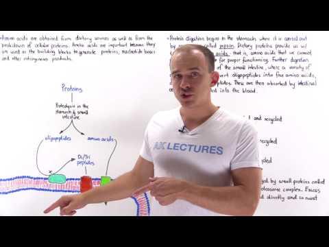 Introduction to Amino Acid Metabolism