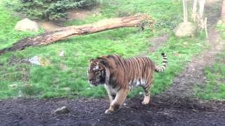 Dublin Zoo wake up call - tiger fight