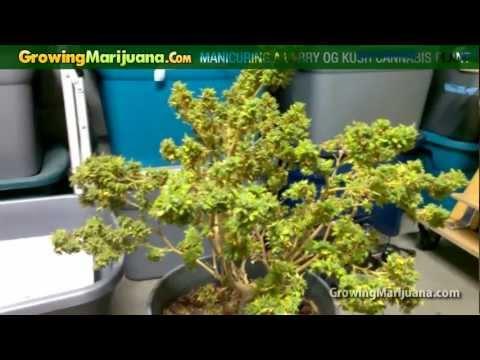 Manicuring A Larry OG Kush Cannabis Plant