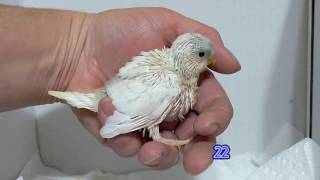 Growth of a  white pied baby budgie
