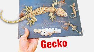 Bắt tổ tắc kè trong công tơ điện, đàn tắc kè trong đồng hồ điện (a gecko family in electrical box)
