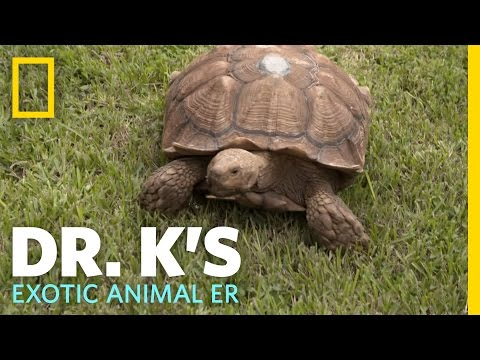 Testing the Tortoise Tracker | Dr. K's Exotic Animal ER