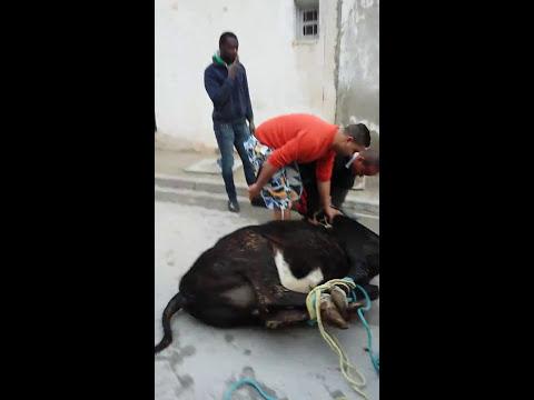 عرس تونسي أصيل رقص علي الدم الماشية