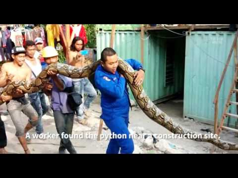 Giant python captured in Penang!