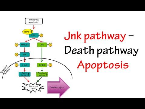 jnk pathway youtube
