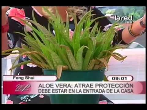 Feng shui de las plantas aloe vera atrae protecci n for Feng shui plantas entrada casa