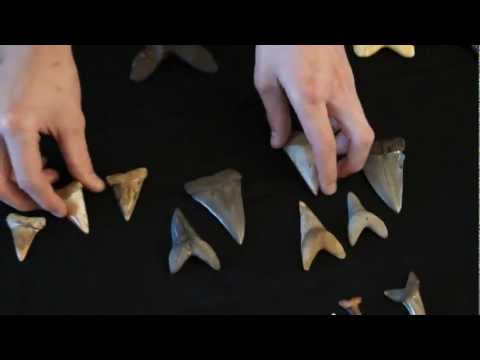 MEGALODON AND GREAT WHITE SHARK EVOLUTION : PART 2 OF 3 - TRANSITIONAL FOSSIL SHARK TEETH