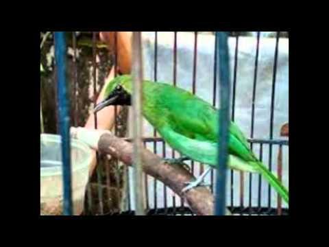 Perbedaan Burung Cucak Ijo Jantan Dan Betina video
