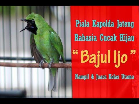 PIALA KAPOLDA JATENG - Pisang & Pepaya Rahasia Juara Cucak Hijau Bajul Ijo