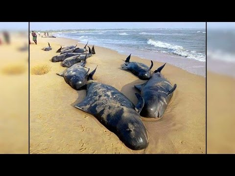 Whales found stranded at German beach, identified as sperm whales